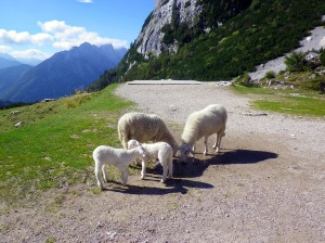 sheep at the top of the pass