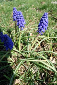 underrated grape hyacinths