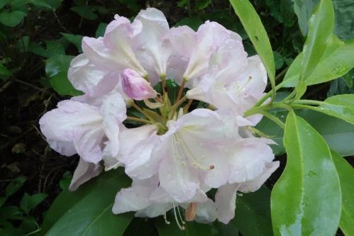Rhododendron Caroline