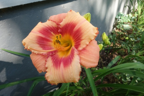 Strawberry Candy day lily - first to bloom