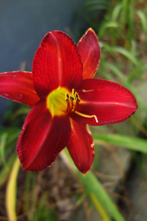 gorgeous daylily