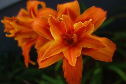 double orange daylily