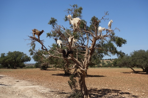 goats in  atree along the highway