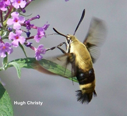 Snowberry_clearwing_Hemaris
