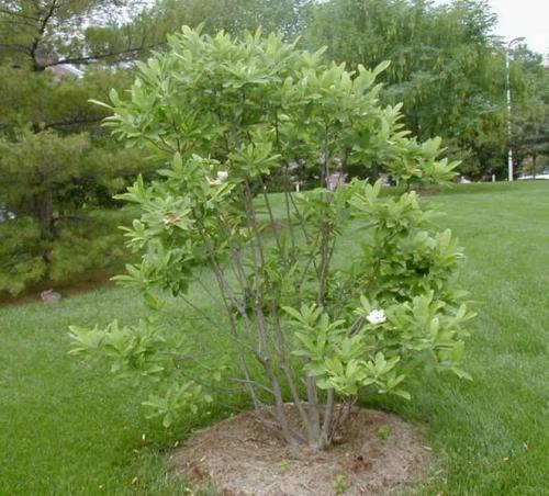 sweetbay_magnolia