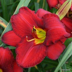 Crimson Shadows daylily
