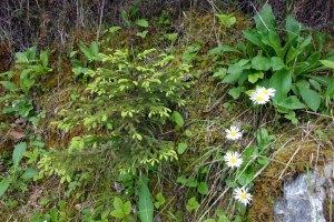 daisies and little fir