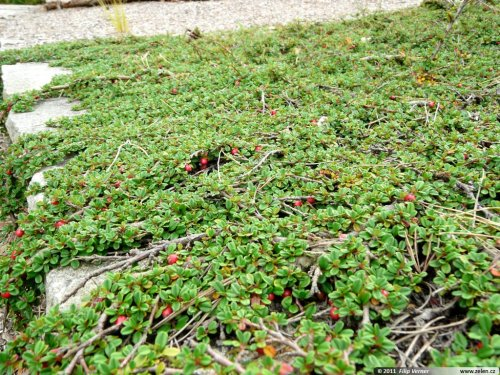 cotoneaster_procumbens_streibs_findling_01