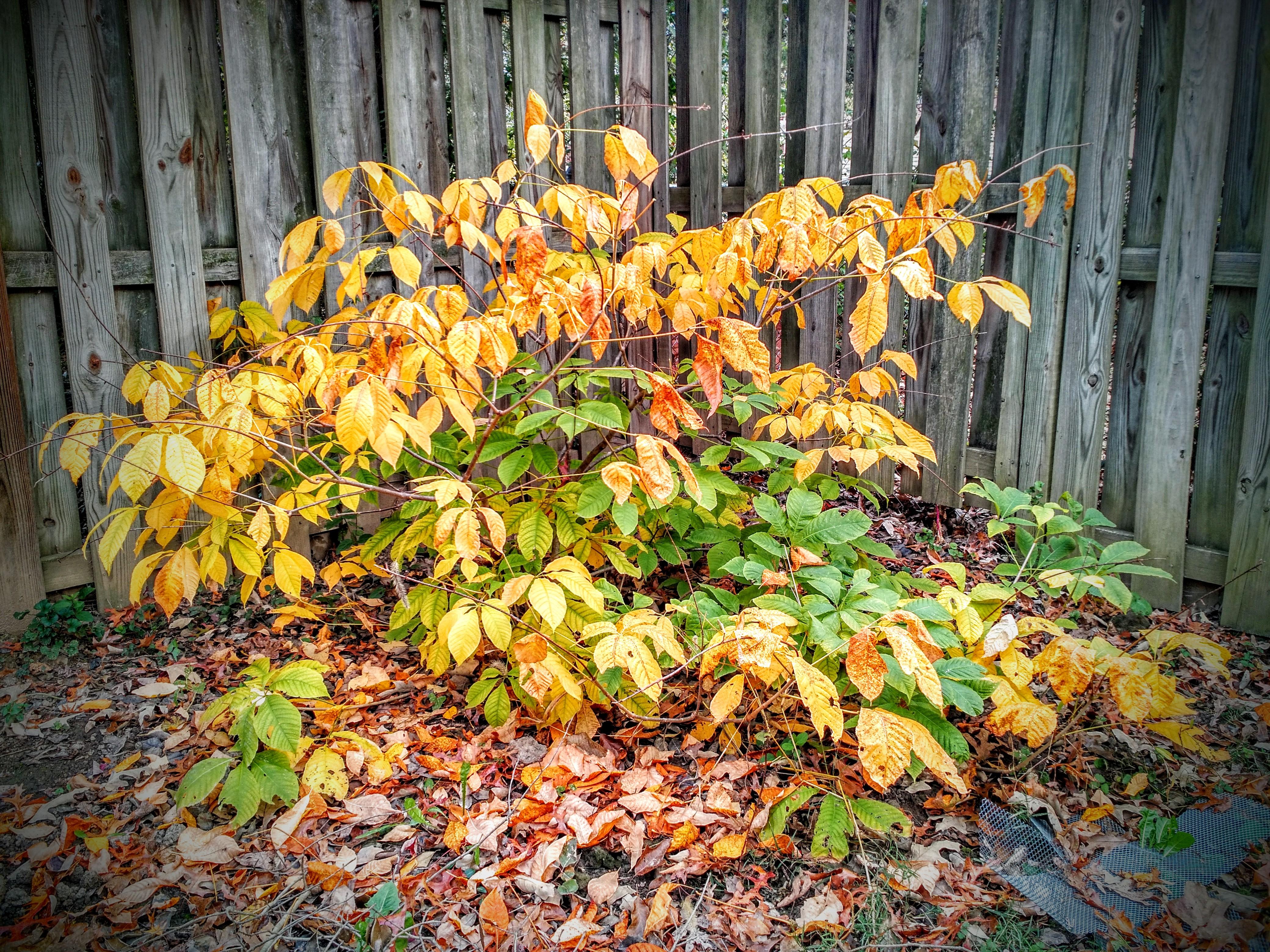 fall-bottlebrush