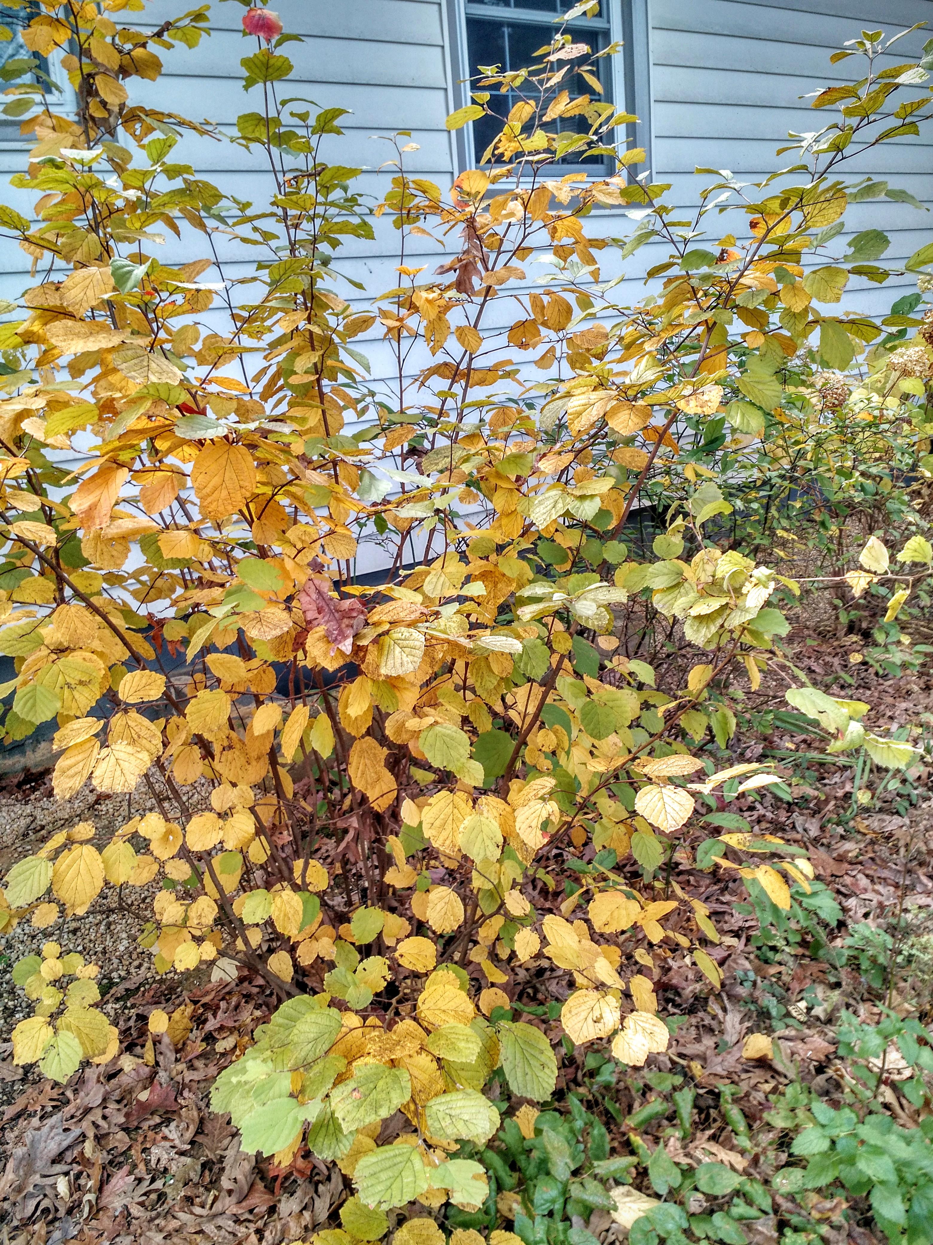 fall-fothergilla