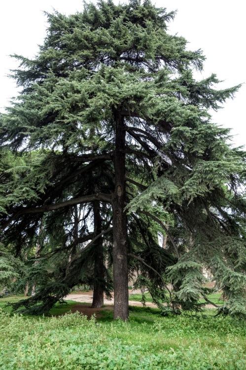 palatine-tree