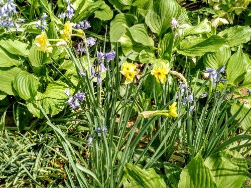bluebells and daffodils
