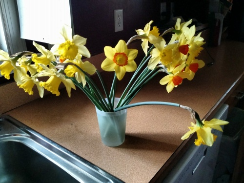 daffodils for cutting