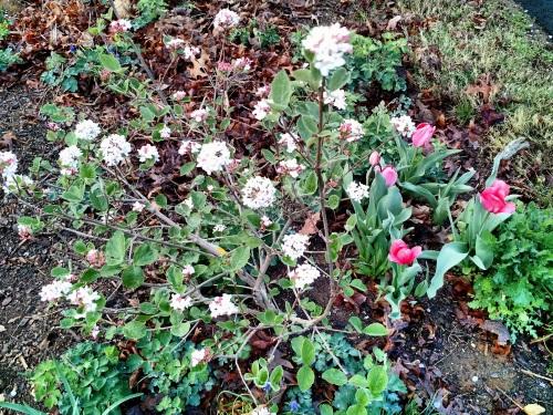 Viburnum and tulips