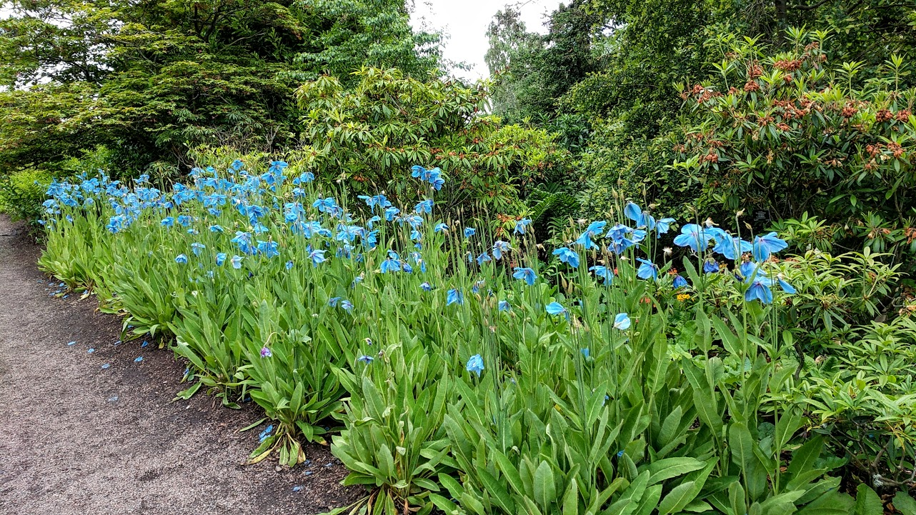 Blue poppies and tiny coffins carolines garden record blue poppies izmirmasajfo