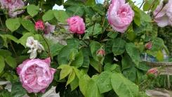 crathes roses