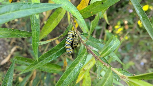 milkweed caterpillars