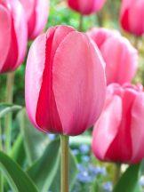 BTUPI_0_Tulip_Pink-Impression.1491347185