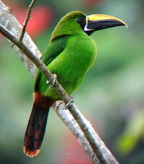 emerald-toucanet
