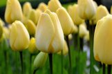 Tulip-Ivory-Floradale-2017-4_x2000_crop_center