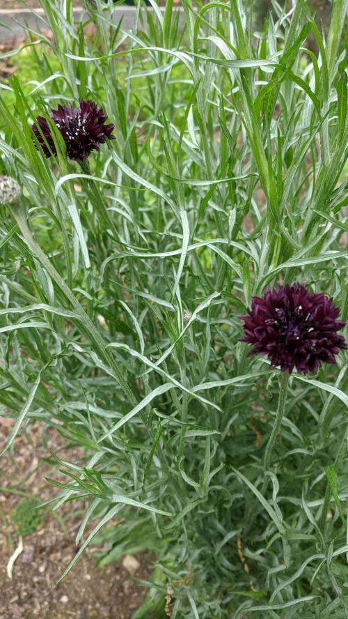 cornflower 'black ball'
