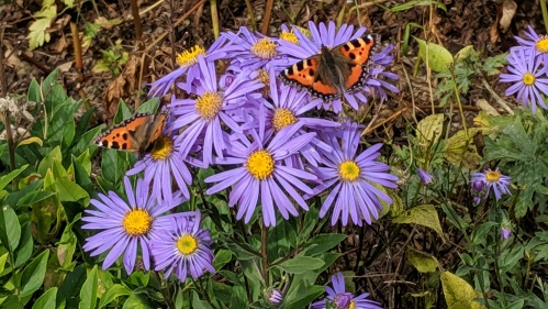 Kiftsgate asters